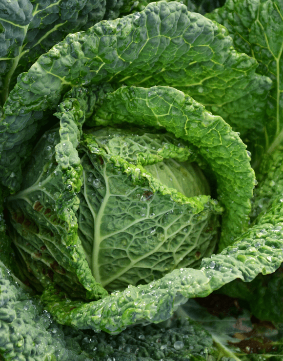 Fresh green cabbage with drops of water falling off the leaves