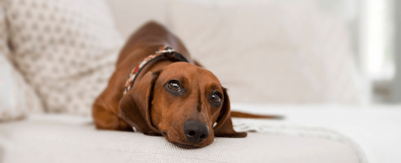 small brown Dachshund lying on the couch