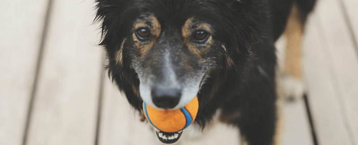 dog with ball in mouth waiting to play games