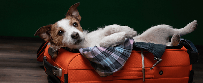 small white dog lying in suitcase preparing for holiday travels
