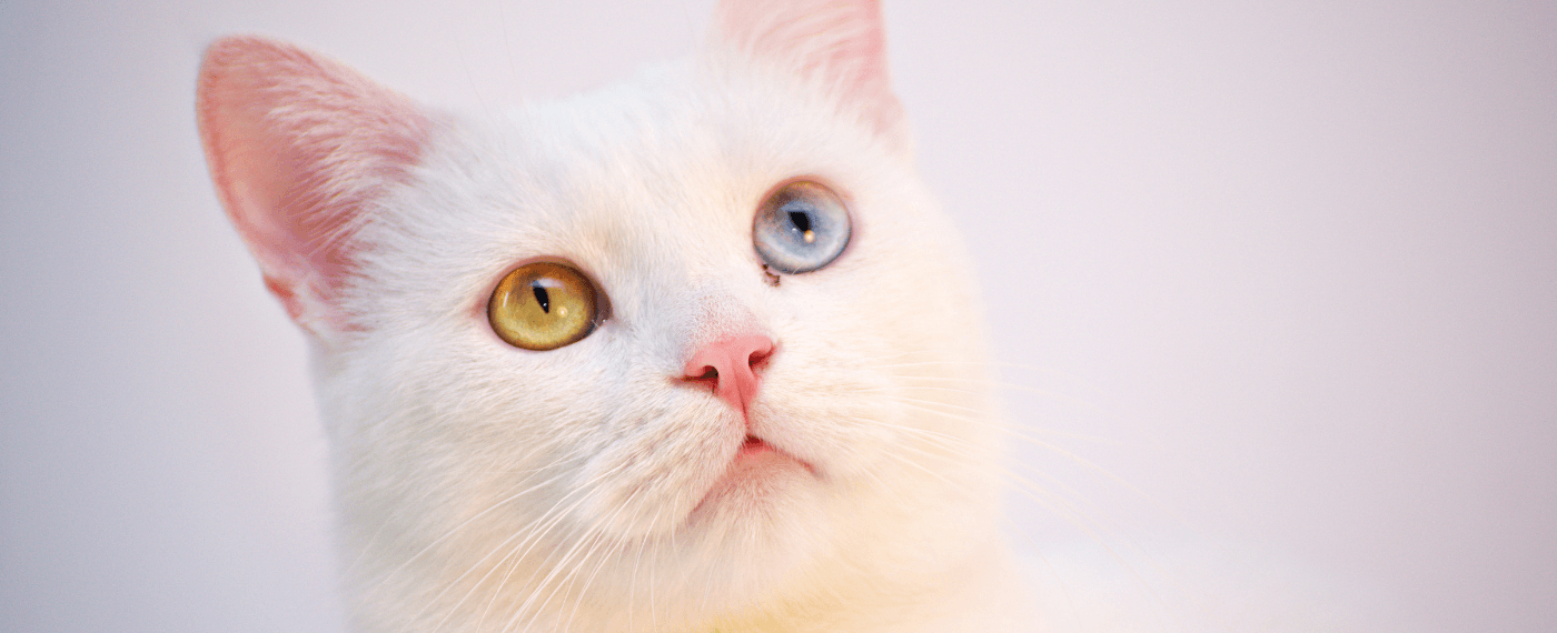 A cat with one green eye and one blue eye stares up