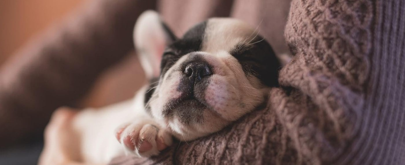 A cute puppy lies asleep in her owner's arms