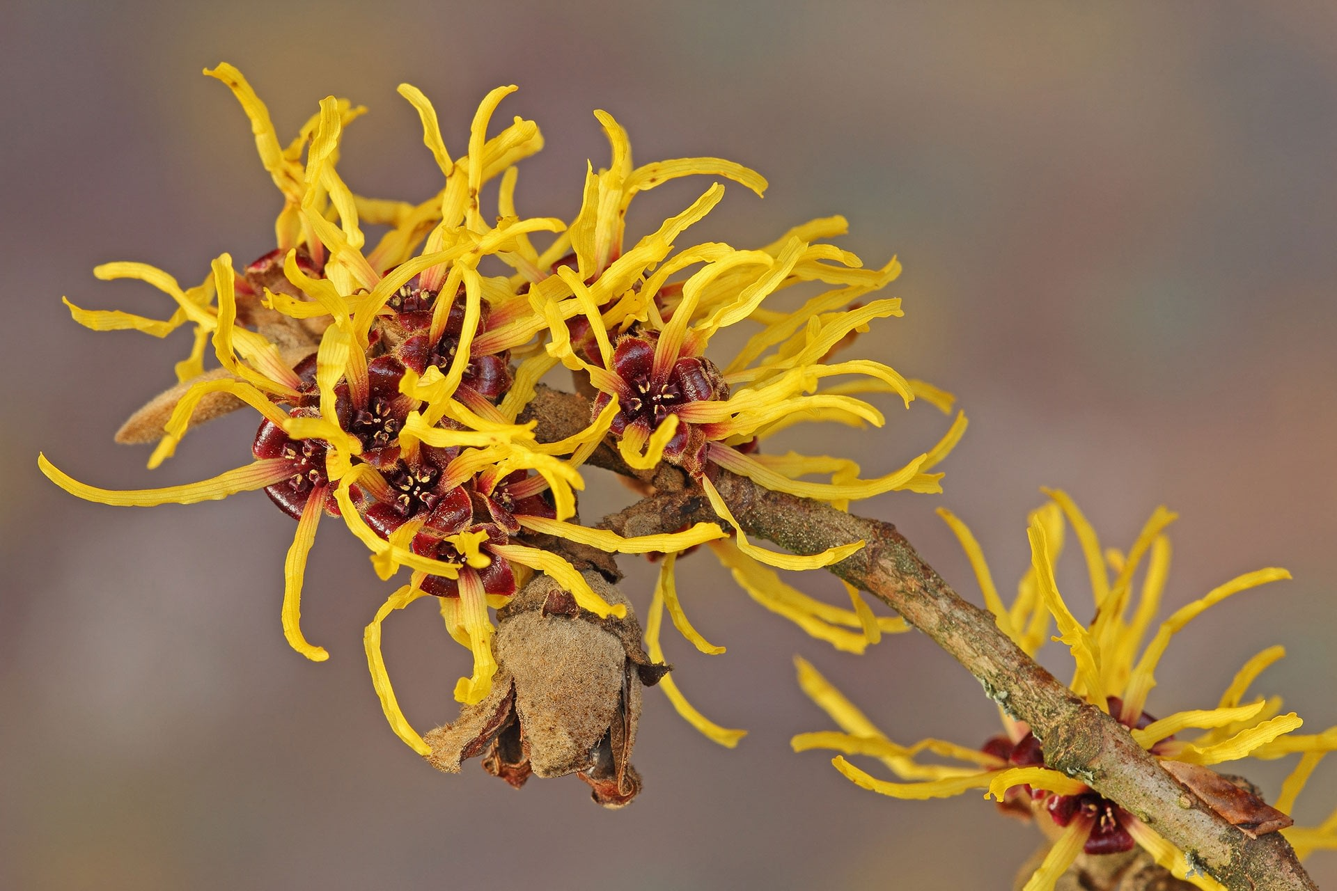 A witch hazel plant that has many benefits