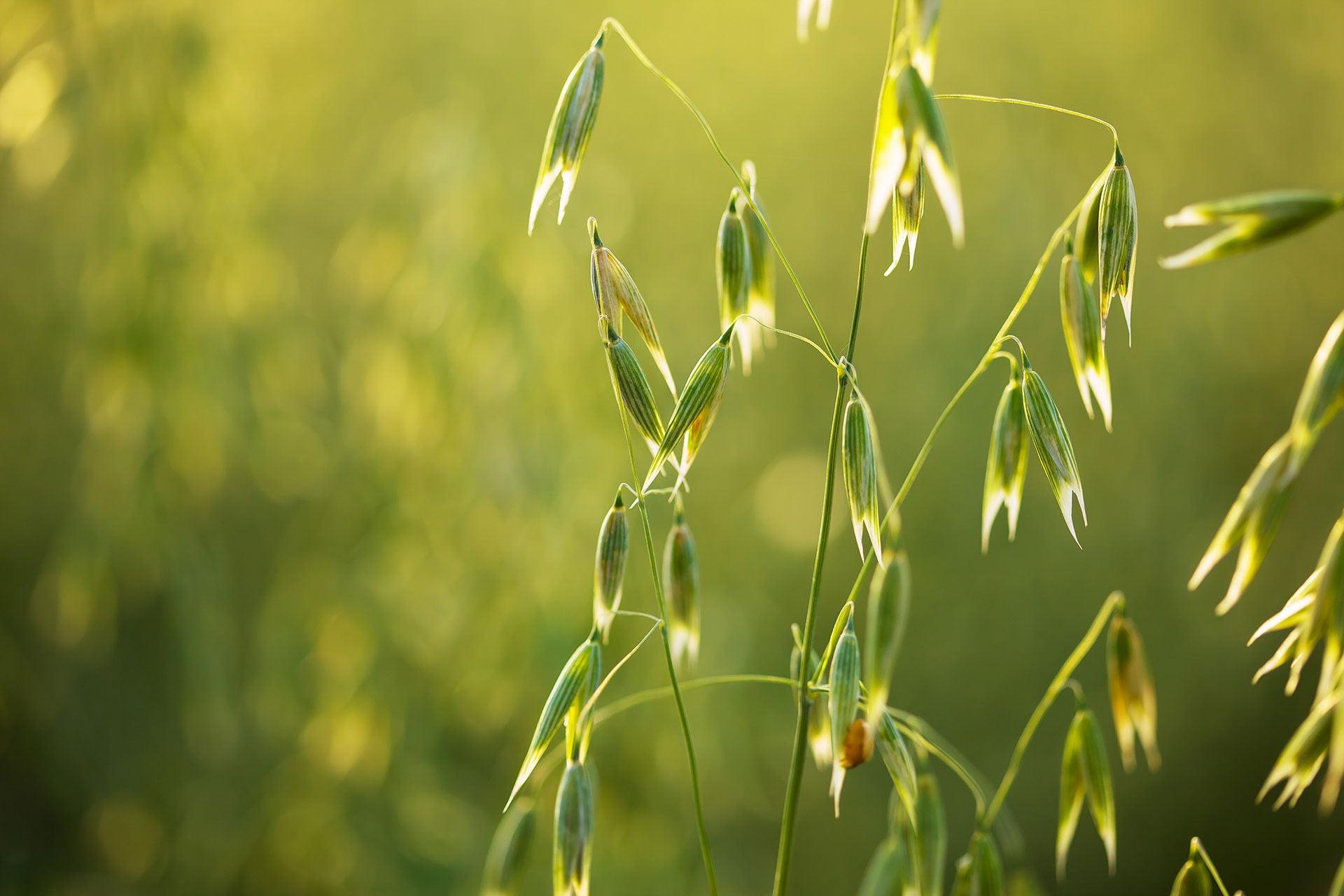 A scene of sunlit green oats