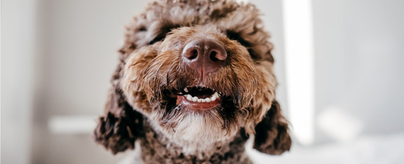 dog smiling nd showing teeth with no gingivitis