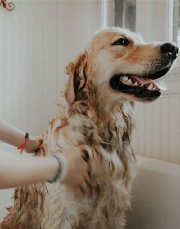 Smiling golden retriever receiving a bath inside a tub