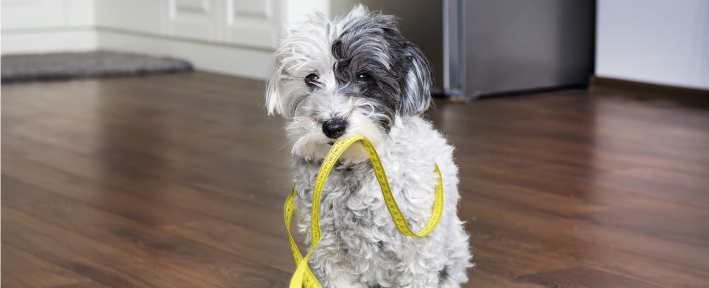 small dog holding measuring tape in mouth