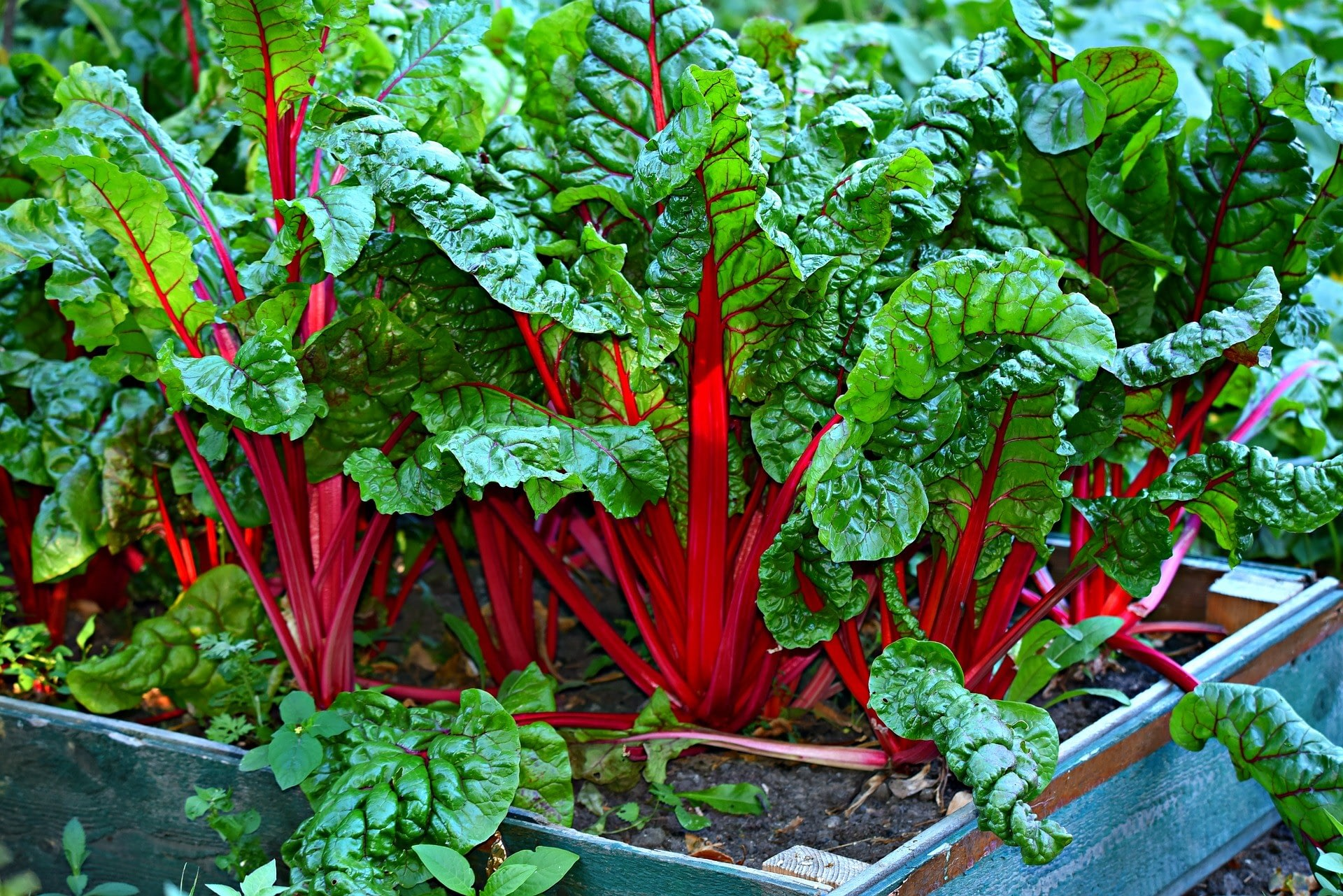 Leafy green vegetable Swiss Chard