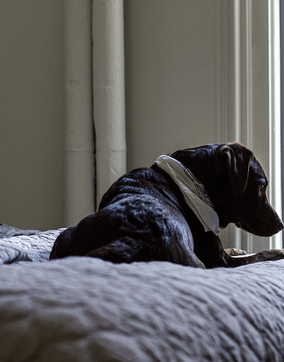 brown dog laying on a bed