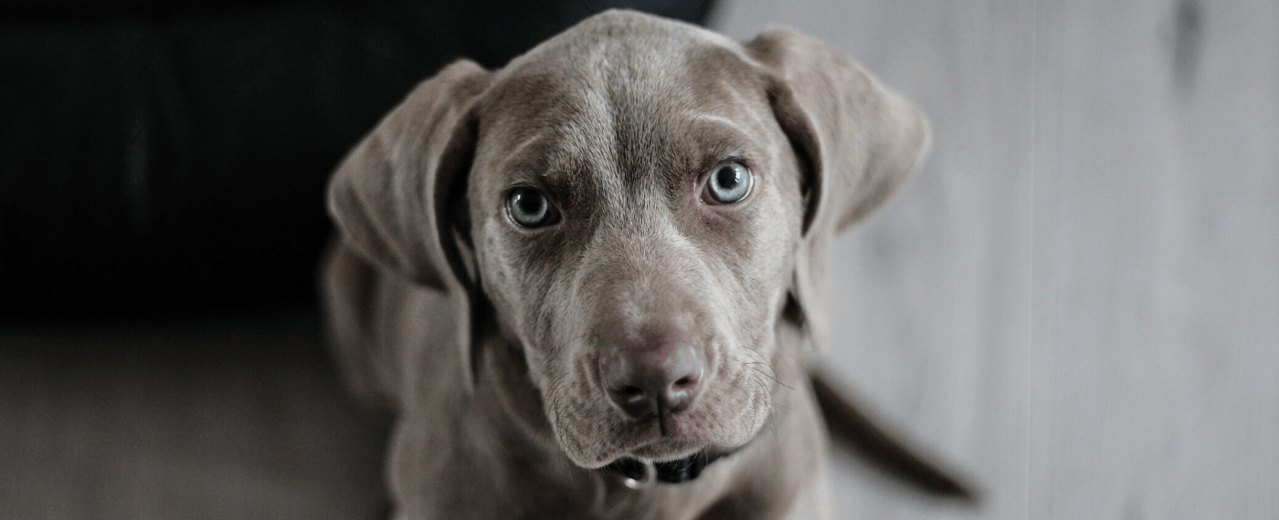 small Weimaraner dog looking into camera