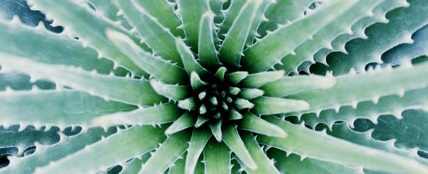 up close view of the center of a aloe vera plant