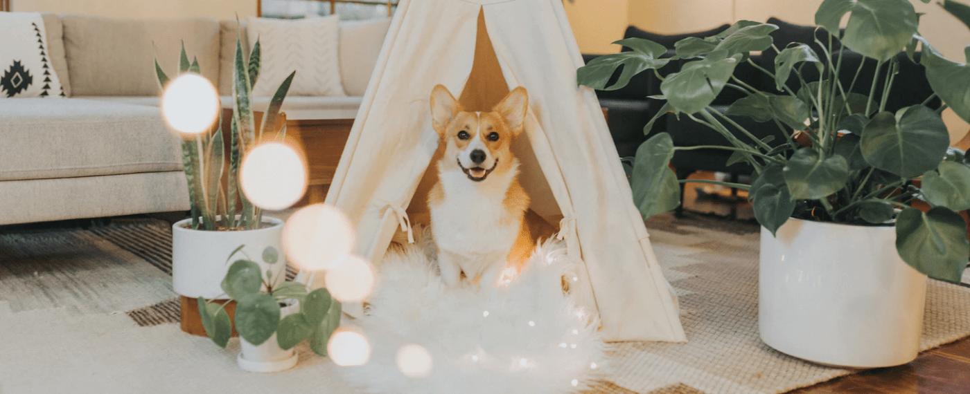 corgi dog sitting under indoor tent