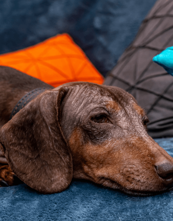 dachshund lying on bed looking sick