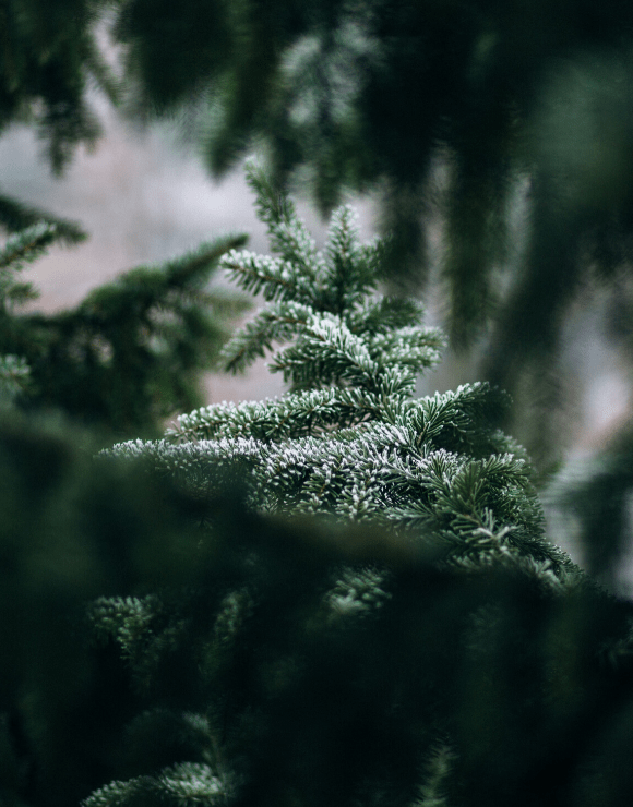 evergreen pine branch dusted in snow